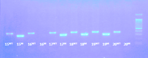 Genotyping Gel